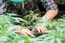 Med pot grower rules go into effect