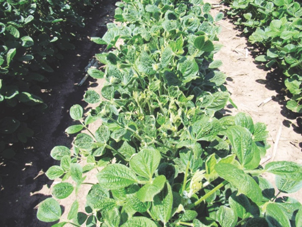 The above picture shows significant cupping of leaves from dicamba drift on non-Xtend soybeans planted next to Xtend beans in research plots maintained by the Kansas State Research and Extension office at Ashland Bottoms farm in Kansas. (photo via flickr)